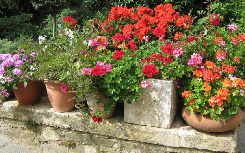how to get martha washington geraniums to bloom
