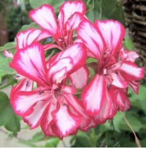 The different varieties of geraniums geranium guide - How to care for ivy geranium ...