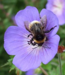 bee-flower-pollination