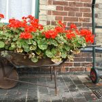 Putting Geraniums Outside