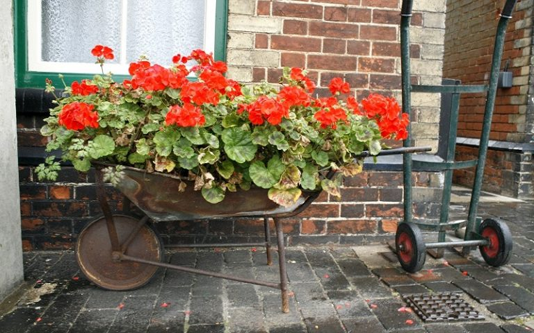 A Quick Tip For Putting Geraniums Outside