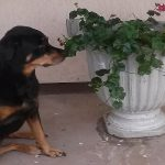 Geraniums Toxic to Dogs and Cats