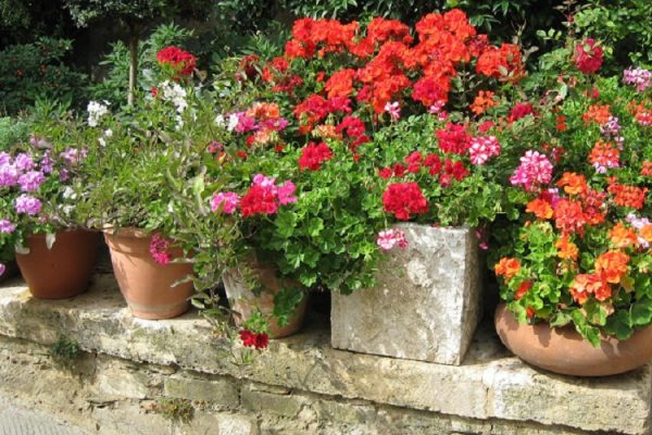 How Often Should Geraniums Be Watered?