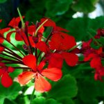 Collect Geranium Seeds from Plant