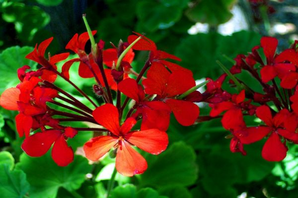 How to Collect Geranium Seeds from Plant (With Pictures)