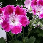 Varieties of Geraniums