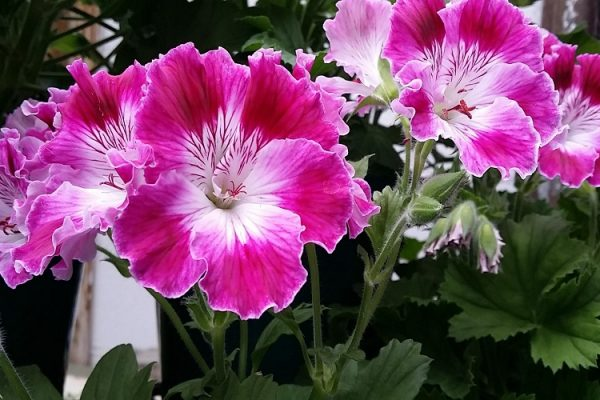 The Different Varieties of Geraniums