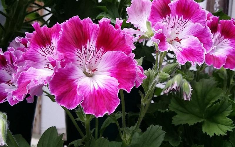 Varieties of Geraniums