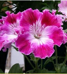 regal-geranium, different varieties of geraniums