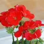What Are F1, F2 and F3 Geranium Seeds?