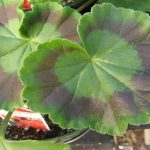 Why Should Geranium Cuttings Have Just a Few Leaves?