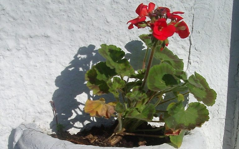 How to Take Perfect Geranium Cuttings (With Pictures)