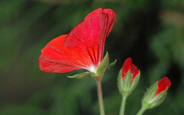 What are Open Pollinated Geranium Seeds?