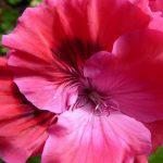Facts About Regal, Martha Washington Geraniums