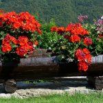 Should You Use Peat Pellets for Geranium Seedlings?