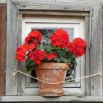 Should You Be Growing Geranium Seeds on a Windowsill?