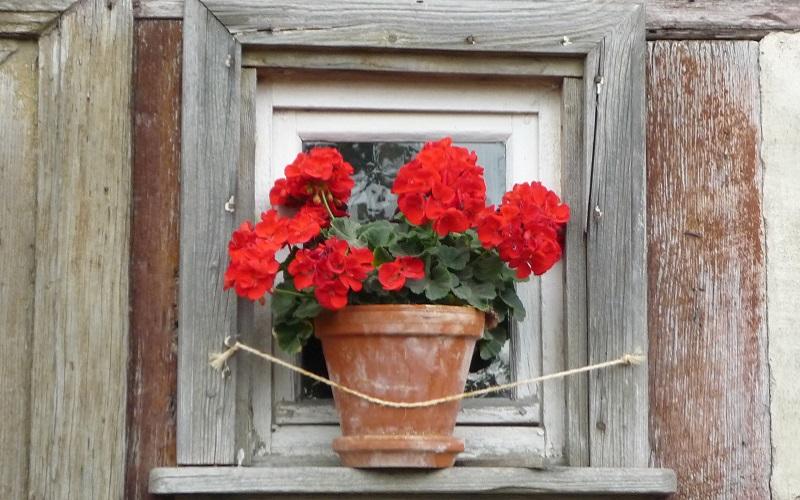 Should You Be Growing Geranium Seeds on a Windowsill?