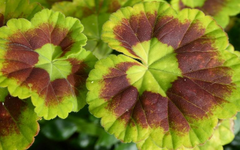 How to Prevent Damping Off in Geranium Seedlings