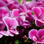 Regal Geranium Not Flowering