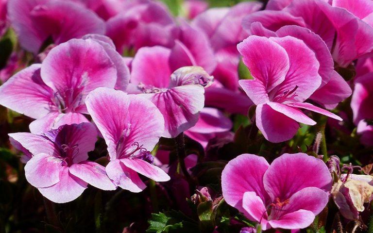 Help, My Regal Geranium is Not Flowering