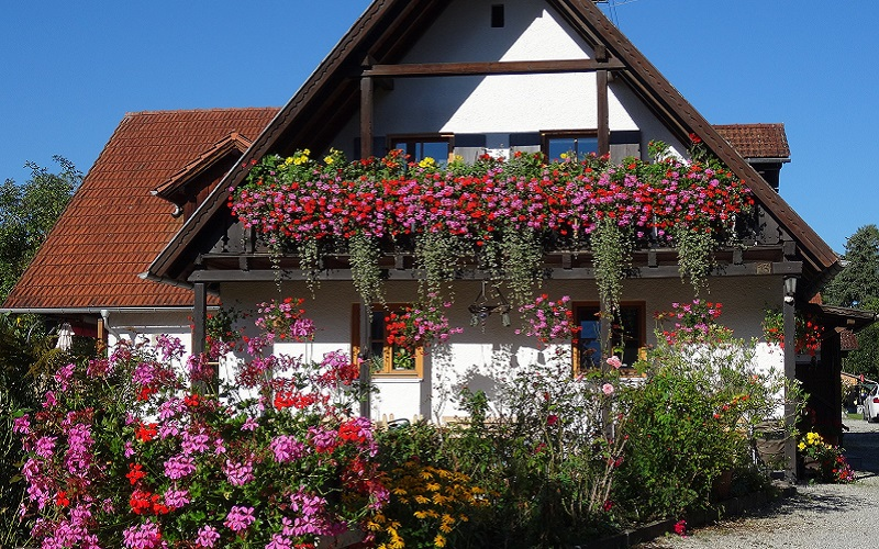 The Right Fertilizers for Geraniums