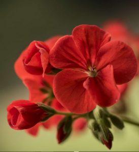 geranium fertilizers