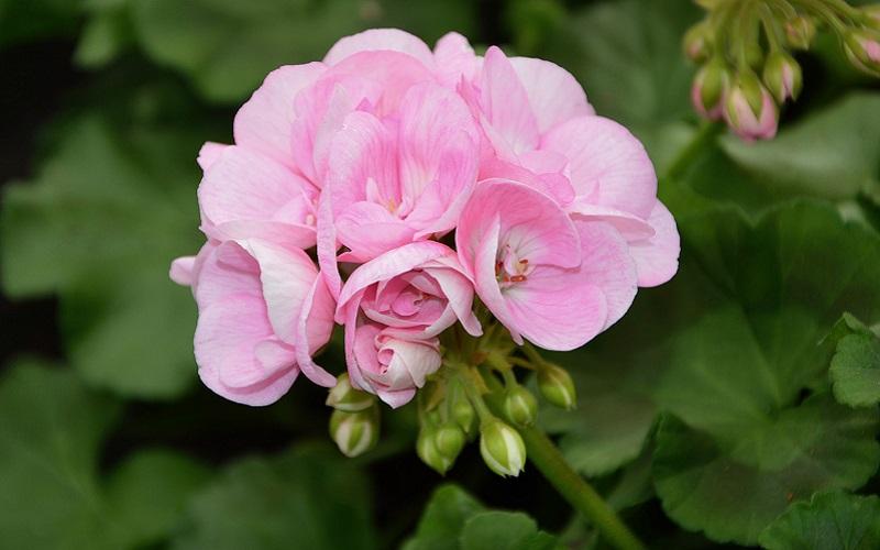 Viable and Non-Viable Geranium Seeds