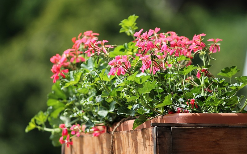 How To Fix Leggy Geraniums Pelargoniums Geranium Guide