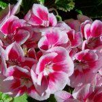 Geraniums or Pelargoniums