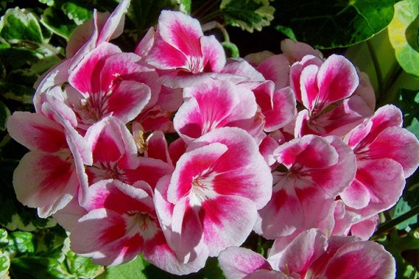 Difference Between Geraniums and Pelargoniums