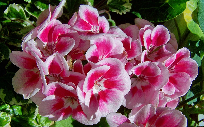 Difference Between Geraniums And Pelargoniums Geranium Guide