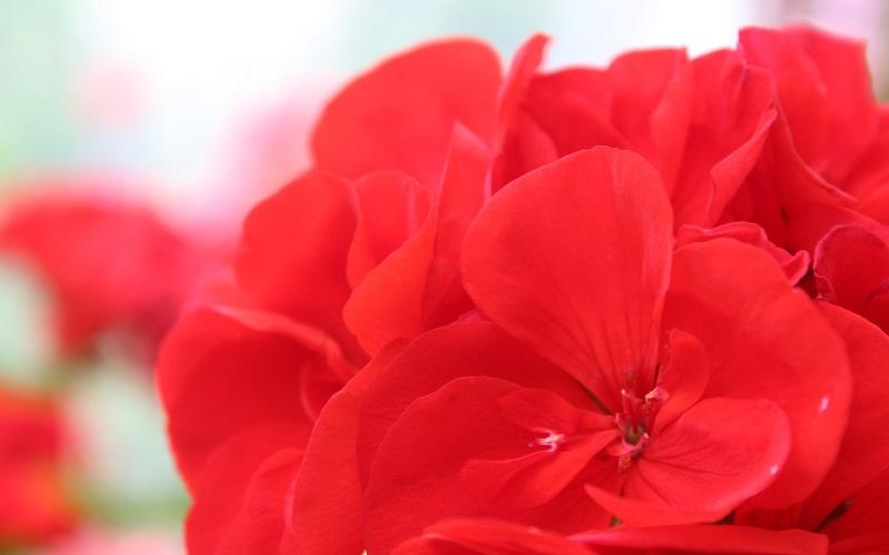 Maverick Geraniums