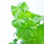 Transplanting Geranium Seedlings