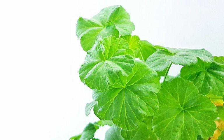 Guide to Transplanting Geranium Seedlings